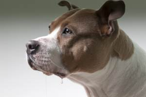 best dog food for pitbulls image of drooling pitbull
