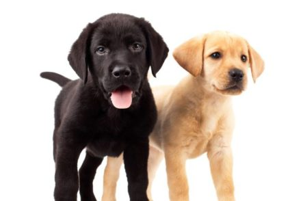 image of best dog food for lab puppies